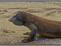 Indonesia, Komodo dragon