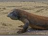 Indonesia, Komodo dragon