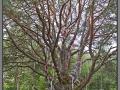 Narva-Jõesuu, Shishkin's pine