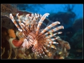 Tall-spine Lionfish