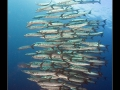 School of Great Barracudas