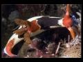 Nembrotha purpureolineata