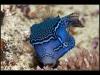 Striped Boxfish Male