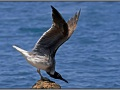 Egypt, Red Sea seagull
