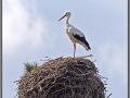 Stork in the nest near Narva
