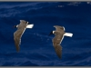 Egypt, Red Sea seagull