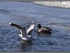 Seagull near the lake, Finland