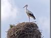 Stork in the nest near Narva